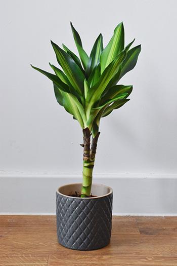 ต้นวาสนา-Dracaena Janet-craig-350