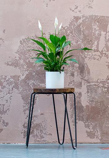 ต้น เดหลี Peace Lily -350