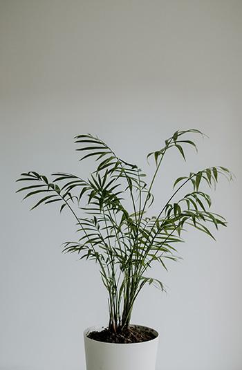 ปาล์มไผ่ Bamboo Palm -350