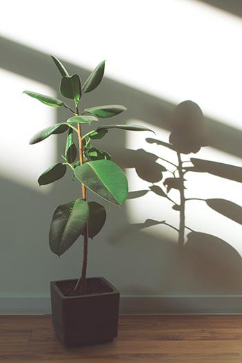 ยางอินเดีย Rubber plants -350