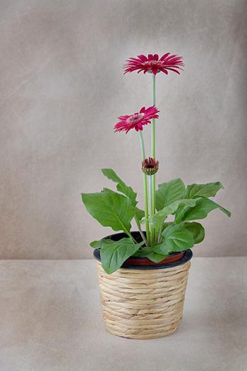 เยอร์บีร่า Gerbera daisy-350