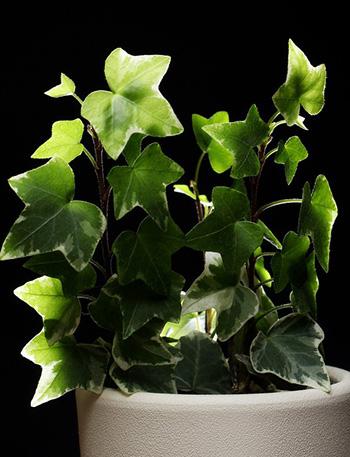 ไอวี่หรือตีนตุ๊กแกฝรั่งหรือEnglish ivy -350