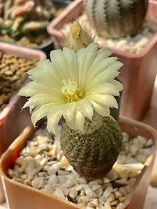 Mammillaria-yellow300